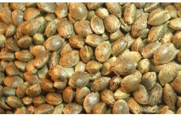 Huile cbd  à base de graine de chanvre